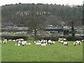 SK0526 : Grazing sheep by Alan Murray-Rust