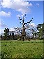 TM2250 : Ancient tree Grundisburgh Hall Park by Chris Holifield
