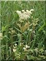 NS3976 : Meadowsweet (Filipendula ulmaria) by Lairich Rig