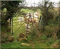 SX0249 : Sheep, Castle Gotha by Derek Harper