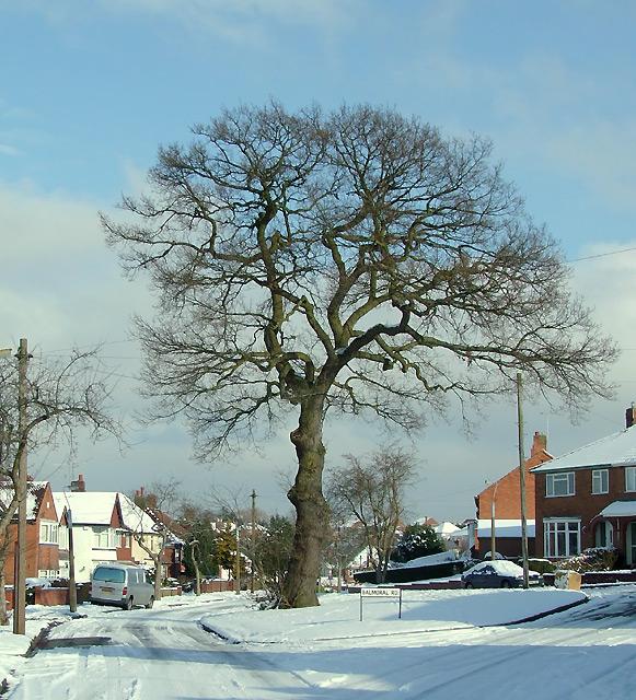 Oak Tree (winter) on Buckingham Road, Penn, Wolverhampton