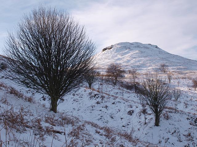 Rowan trees on the slopes of Roseberry Topping