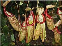 TQ1877 : Kew Tropical Extravaganza - Pitcher Plants by David Hawgood