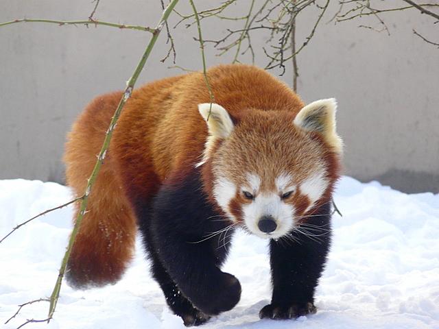 Red Panda at  the Highland Wildlife Park, Kincraig