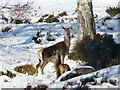 NH3439 : Red deer hinds, Glen Strathfarrar by sylvia duckworth