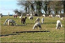 SU6579 : Alpacas at Goring Heath by Graham Horn