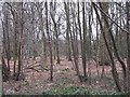 SO9974 : Woodland, Lickey Warren by Richard Webb