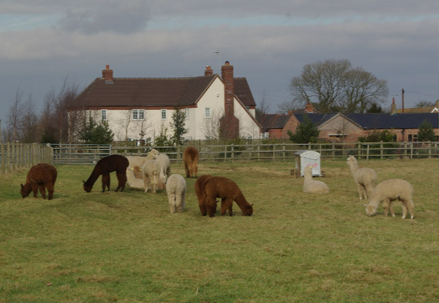 Alpacas at Dunchurch