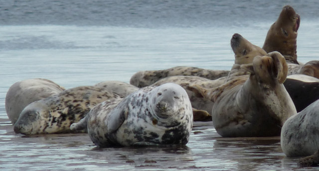 Grey seals hauled-out near Tentsmuir Point