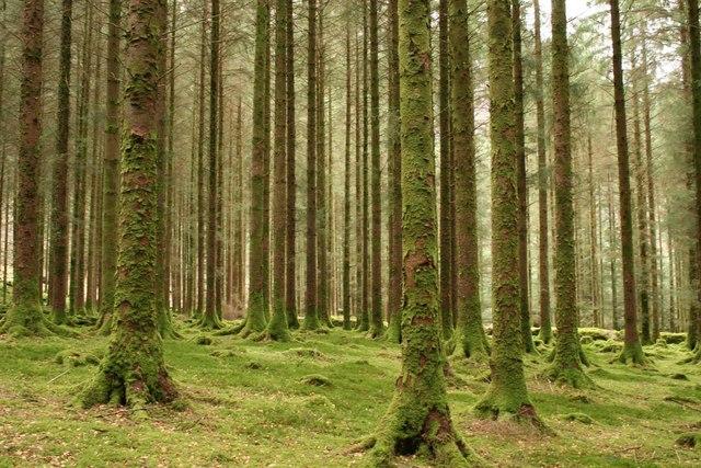 Evergreen trees at Gougane Barra, Forest Park, Cork