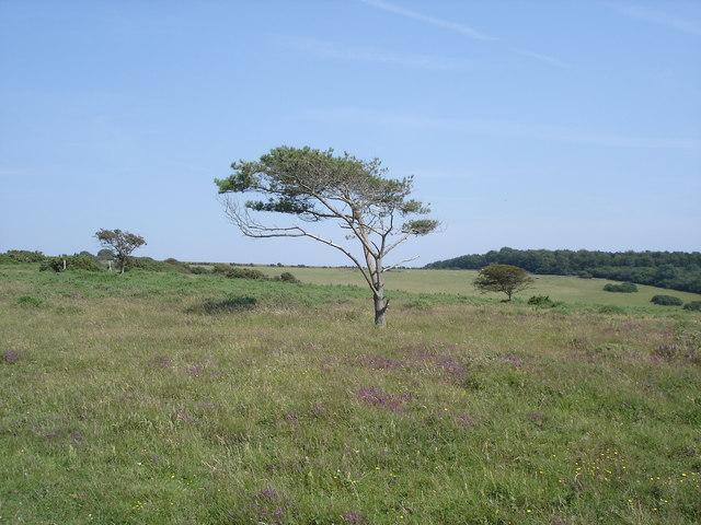 Lullington Heath - a solitary tree