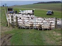 ST9120 : Sheep near Win Green by Maigheach-gheal