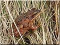NC8919 : Common Frog by sylvia duckworth