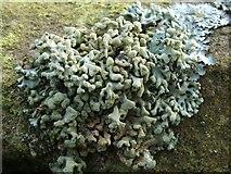NS3678 : A lichen - Hypogymnia tubulosa by Lairich Rig