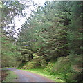 SN7792 : Maturing forest in Mynydd Bychan forestry by Rudi Winter