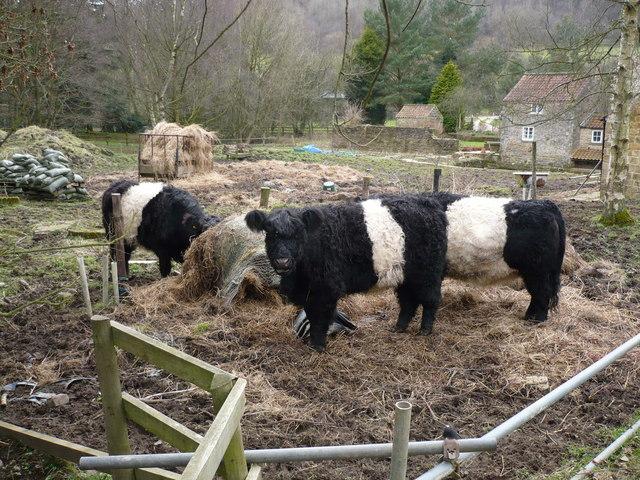 Belted Galloway cattle near Gillamoor