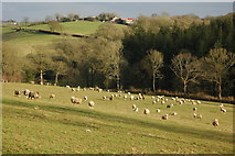 SS7610 : Sheep in the Dalch Valley by Philip Halling