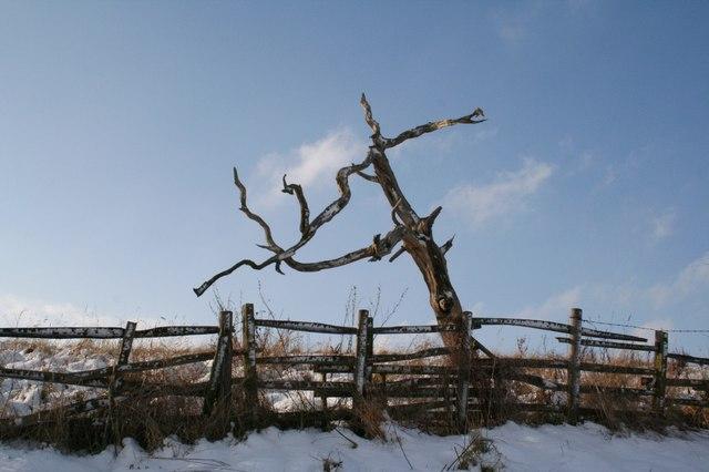 Dead tree in snow