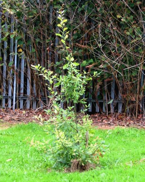 Young Oak tree, Honeywell College