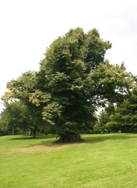Old Lime tree