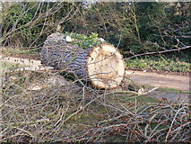 TM3569 : Part of the felled Poplar trees, in The Causeway, Peasenhall by Adrian Cable