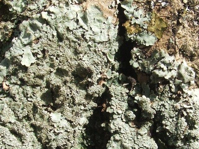 A lichen - Parmelia ernstiae
