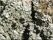 NS4276 : A lichen - Parmelia ernstiae by Lairich Rig