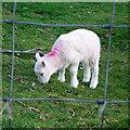 SN6960 : Lamb at Tan yr Allt Uchaf by Rudi Winter