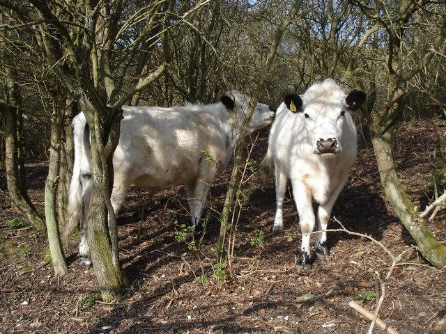 Cattle on Lullington Heath