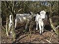 TQ5401 : Cattle on Lullington Heath by Ian Cunliffe