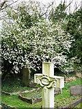 SP9113 : Hawthorn in bloom in Wilstone Cemetery by Chris Reynolds