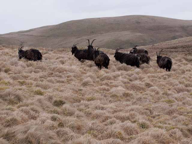 Wild goats on the Cheviots
