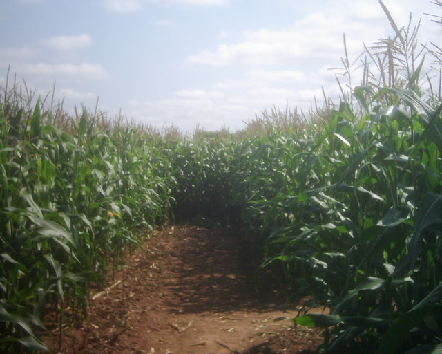 Bickleigh : Bickleigh Maize Maze
