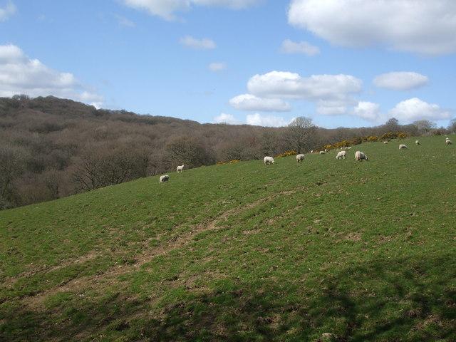 Sheep in Cwm Cothi
