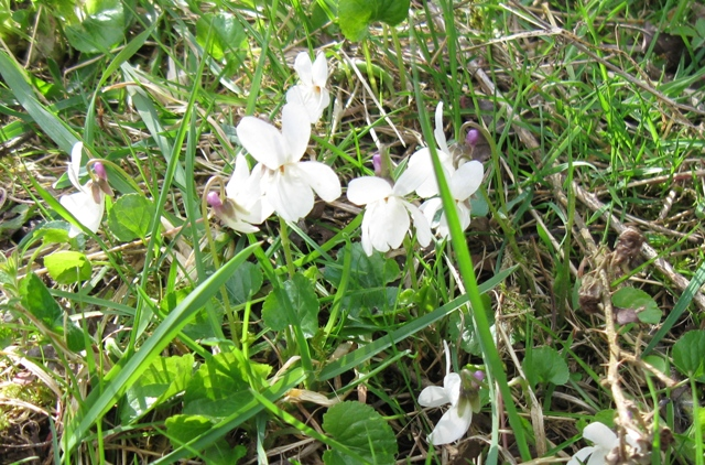 White Violets beside the path at College Lake
