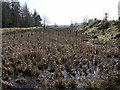 NY9342 : Bull rushes in marsh at Boltsburn Washings, Rookhope by Andrew Curtis