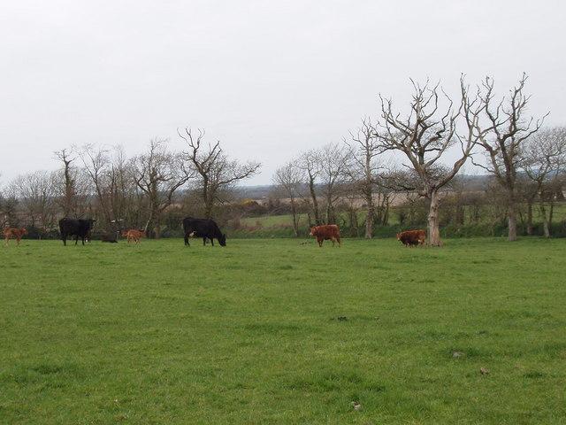 Cattle on pasture near Cregg