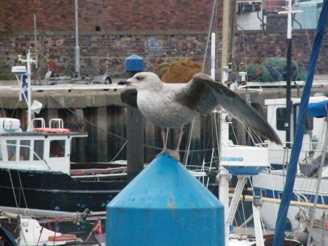 Young Gull showing off balancing skills