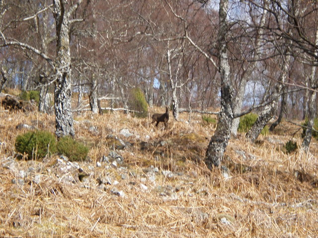 Sika Deer in woodland above Dundreggan Lodge