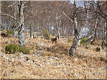 NH3214 : Sika Deer in woodland above Dundreggan Lodge by Sarah McGuire