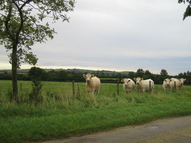 Cows near Doddeshall House