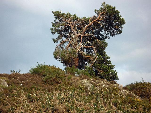 Scots Pine on the crest of Craigiehowe