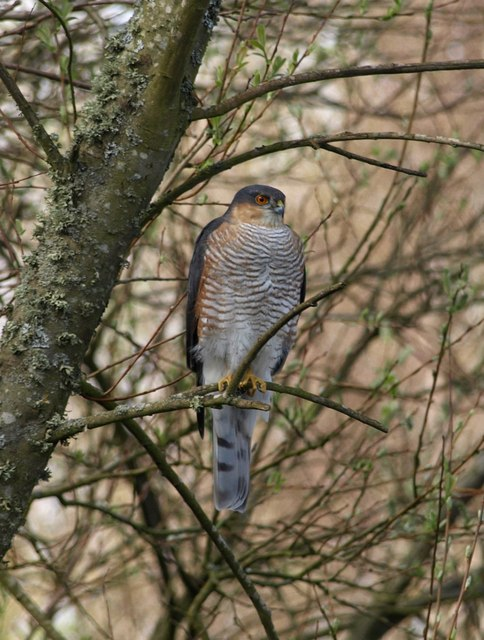 Sparrowhawk, Dawlish Warren