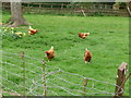 SS9514 : Bolham : Chickens Roaming by Lewis Clarke