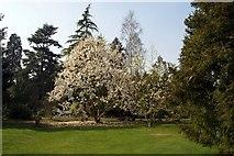 SU5598 : Magnolia at Nuneham Courtenay Arboretum by Steve Daniels