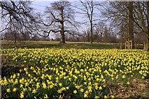 SU5598 : A host of daffodils at Nuneham Courtenay Arboretum by Steve Daniels