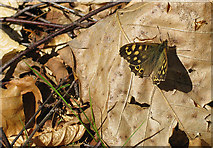 SO6210 : Speckled Wood on dead leaves by Pauline E