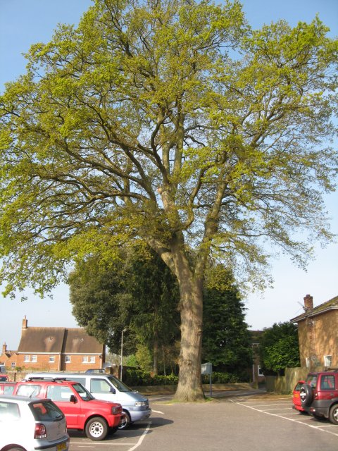 Ancient oak in car park