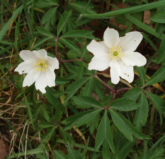 Wood anemone with seven tepals