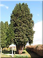 NY9365 : St. John Lee - old yew tree in the graveyard by Mike Quinn